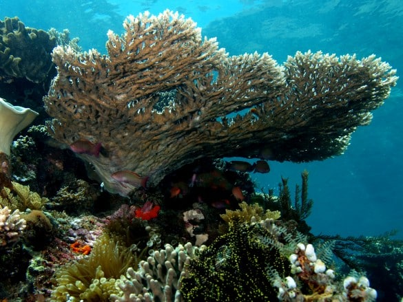 Coral-reefs-in-Balis-Benoa-Bay-are-threatened-due-to-the-Benoa-Bay-reclamation-project.-Wikimedia-585x439